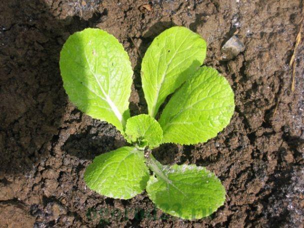 пекинская капуста, выращивание и уход в открытом грунте 4