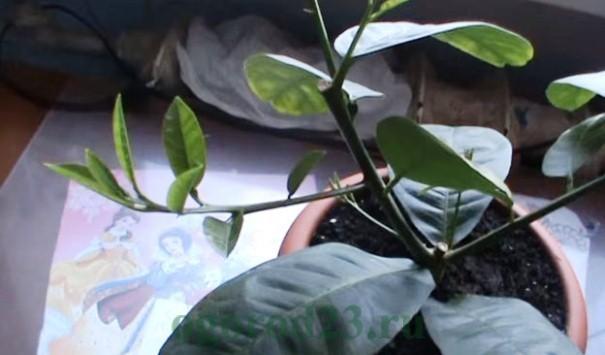 Как вырастить из косточки лимон в домашних условиях 6