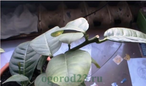 Как вырастить из косточки лимон в домашних условиях 11
