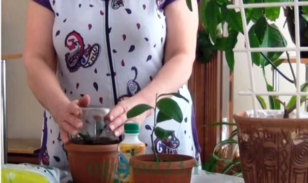 Как вырастить из косточки лимон в домашних условиях 4