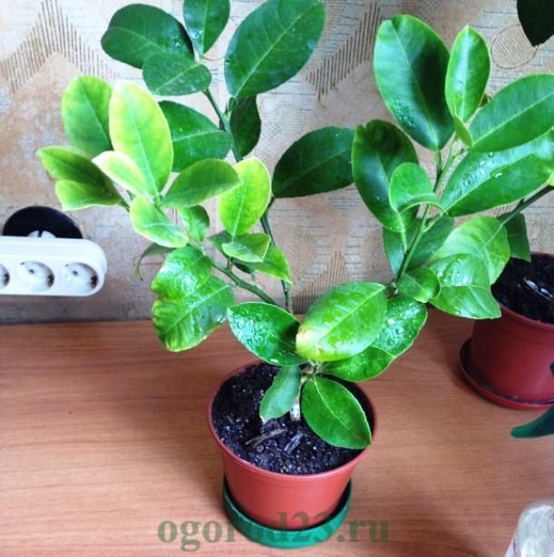 Как вырастить из косточки лимон в домашних условиях 12