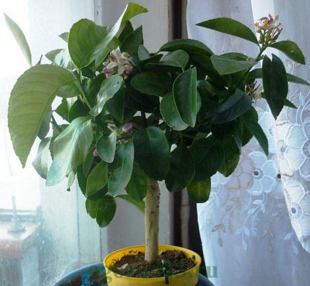 Как вырастить из косточки лимон в домашних условиях 8