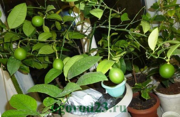 лимонное дерево уход в домашних условиях 4