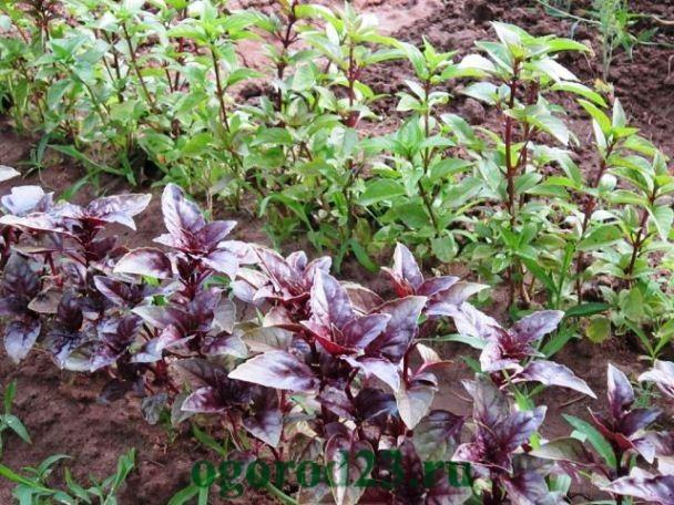 базилик, выращивание из семян