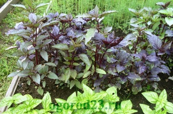 базилик, выращивание из семян 9