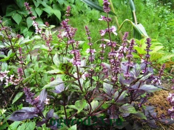 базилик, выращивание из семян 8