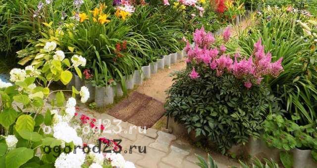 астильба посадка и уход в саду