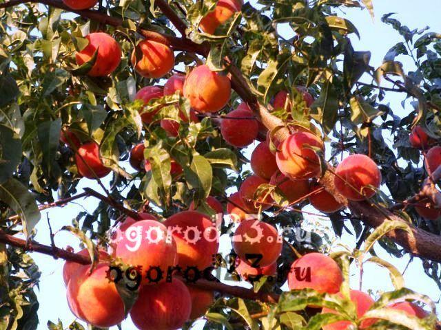 сорта персика для краснодарского края фото с названием и описанием