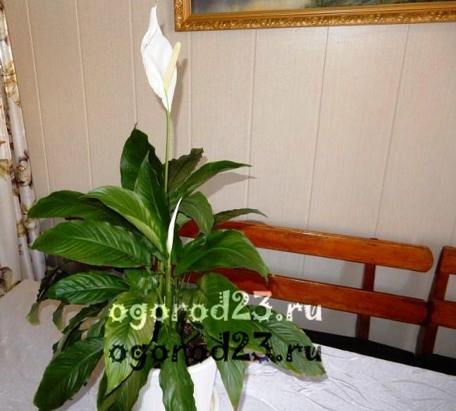комнатные растения, которые нельзя держать дома – фото и названия 24