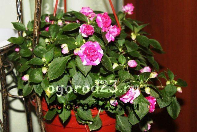 комнатные растения, которые нельзя держать дома – фото и названия - 31