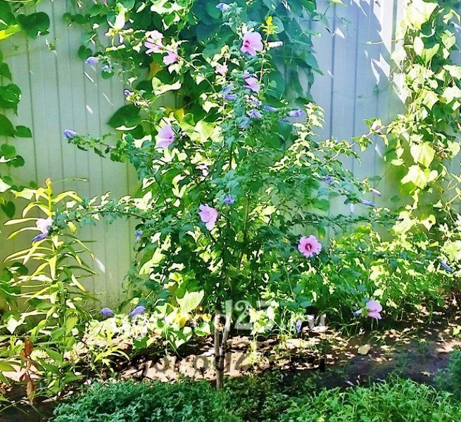 садовый гибискус уход и размножение 19