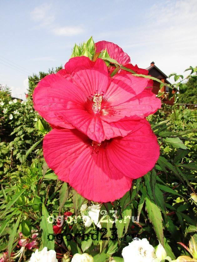 садовый гибискус уход и размножение 23