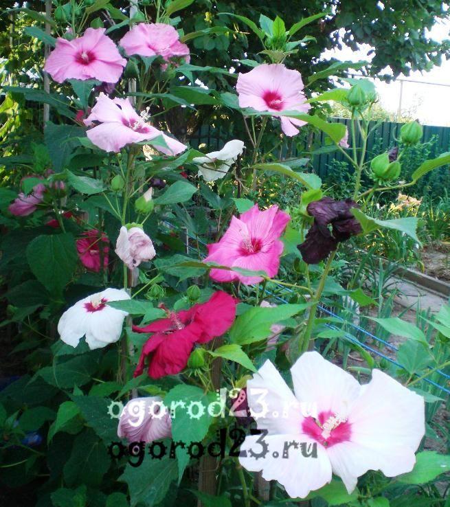 садовый гибискус уход и размножение 26