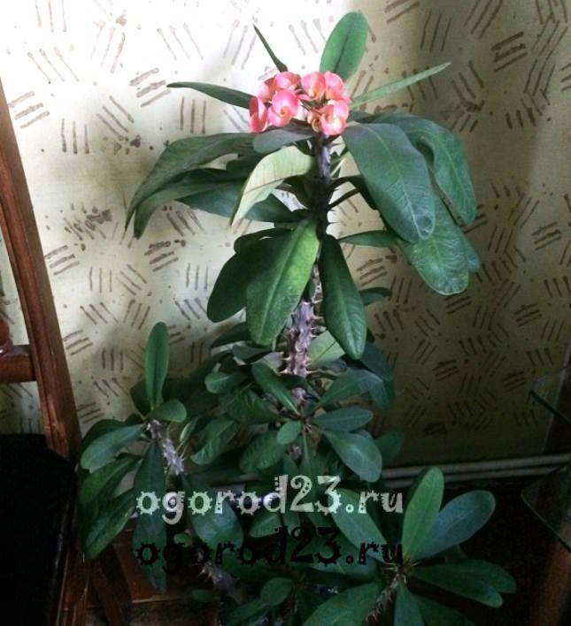 комнатные растения, которые нельзя держать дома – фото и названия 2