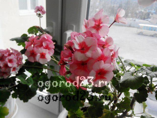 комнатные растения, которые нельзя держать дома – фото и названия 23