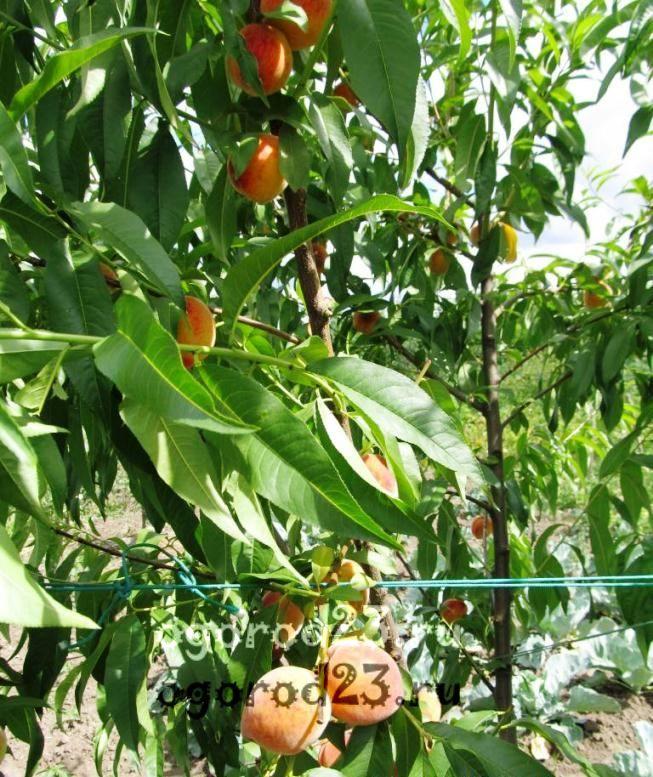 Какие сорта персиков лучше?