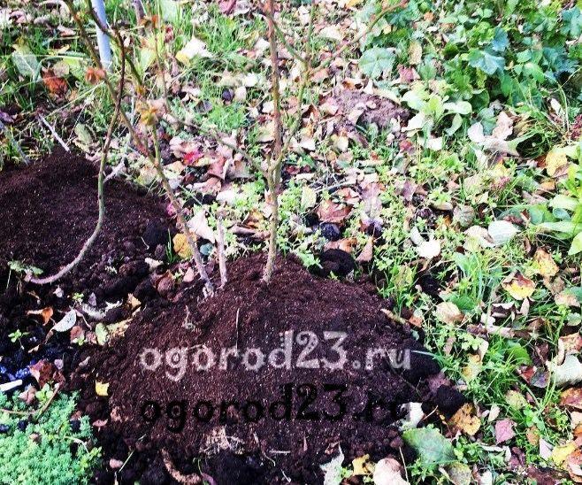 Как сохранить розы зимой в саду, чем укрыть 32