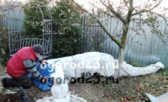 Как сохранить розы зимой в саду, чем укрыть 4