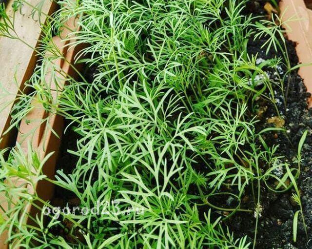 как выращивать укроп на подоконнике