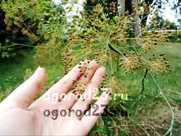 Семена укропа, лечебные свойства и противопоказания 5