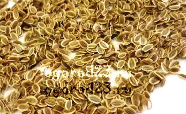 Семена укропа, лечебные свойства и противопоказания