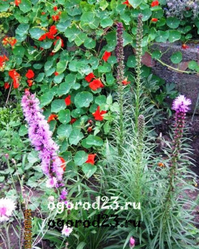 Однолетние цветы, цветущие все лето без рассады - название и фото 100