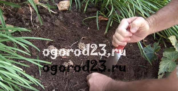Ранункулюс посадка и уход в открытом грунте на урале