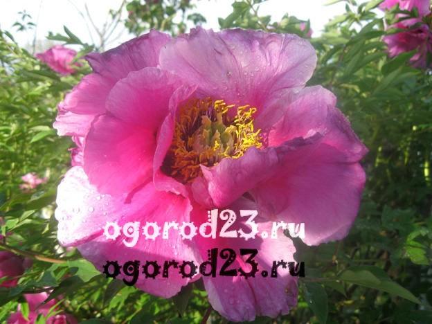 древовидный пион уход и выращивание 3