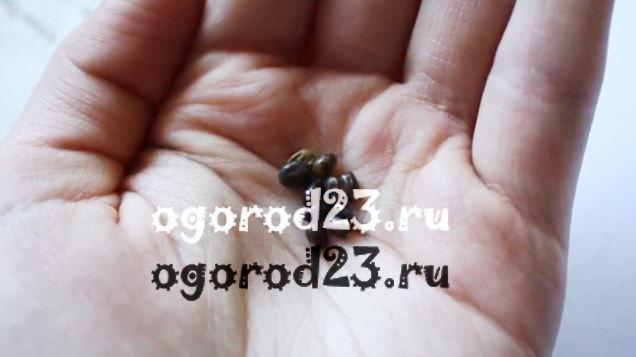 Люпины выращивание из семян когда сажать 5