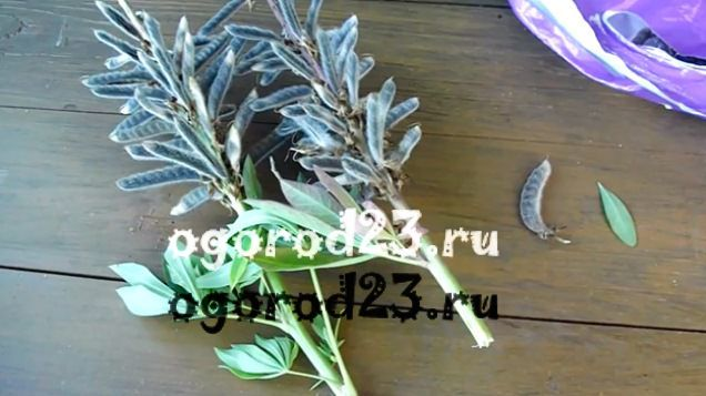 Люпины выращивание из семян когда сажать 7