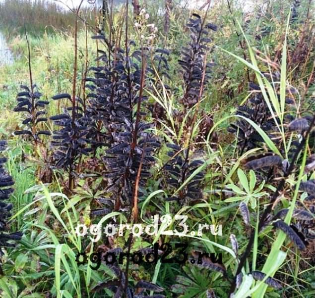 Люпины выращивание из семян когда сажать 6