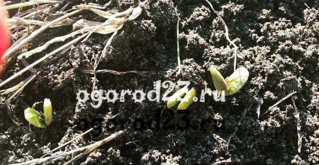 Люпины выращивание из семян когда сажать 8