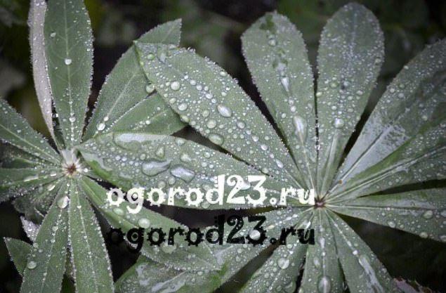 Люпины выращивание из семян когда сажать 1