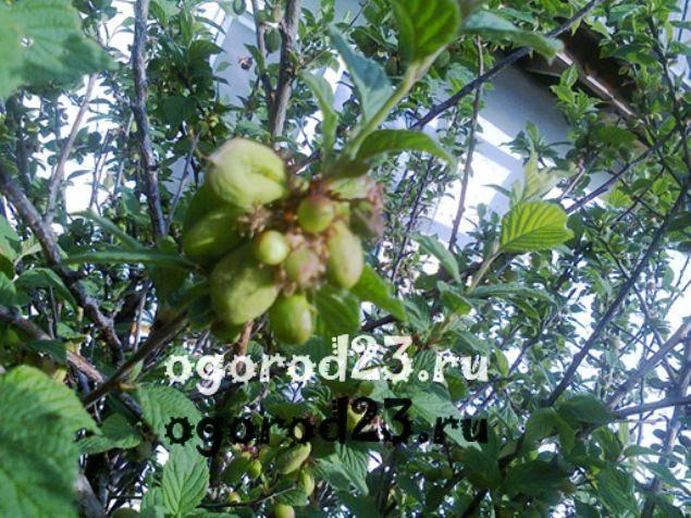 войлочная вишня, выращивание и уход 12