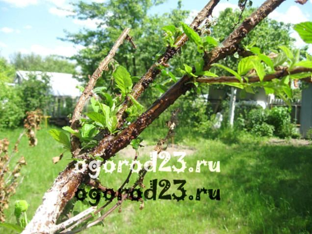войлочная вишня, выращивание и уход 14