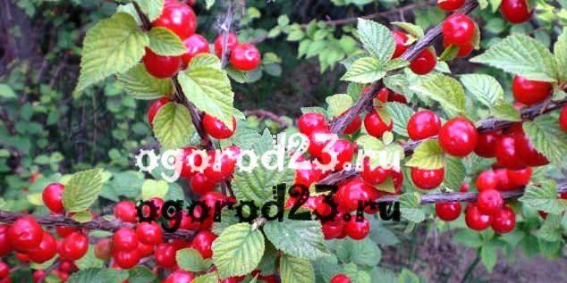войлочная вишня, выращивание и уход 19