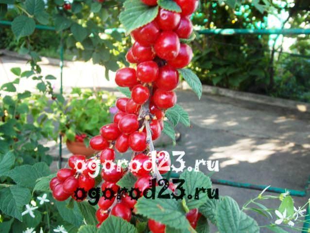войлочная вишня, выращивание и уход 18