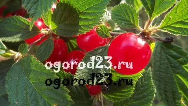 войлочная вишня выращивание и уход