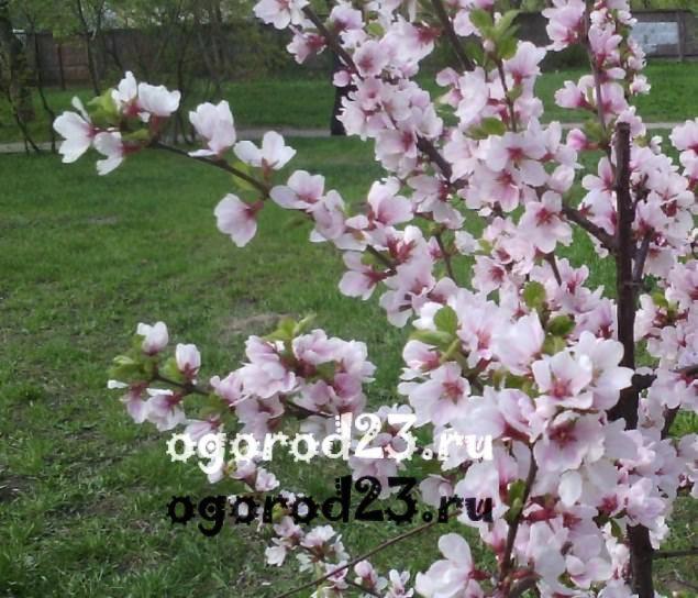 войлочная вишня, выращивание и уход 15