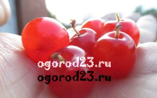 войлочная вишня, выращивание и уход 4