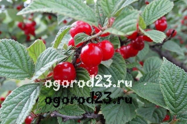 войлочная вишня, выращивание и уход 17