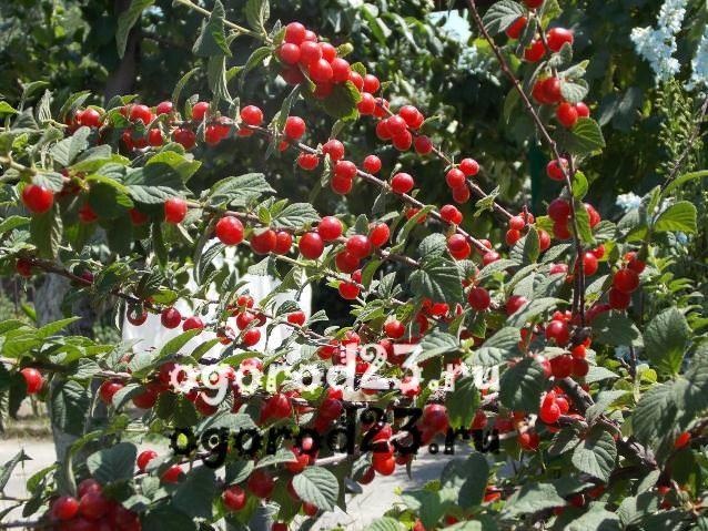 войлочная вишня, выращивание и уход
