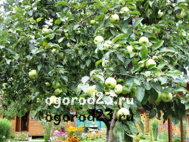 Парша на яблоне как бороться 9