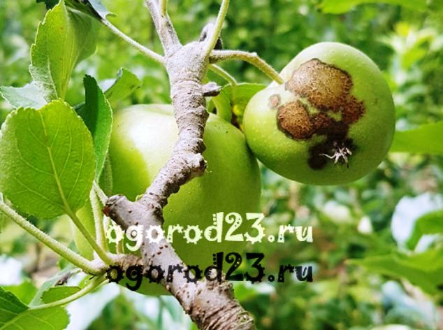 Парша на яблоне как бороться 1