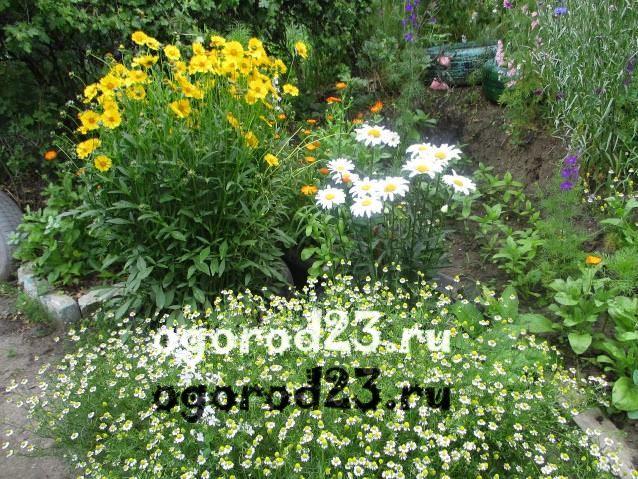 цветы похожие на ромашки