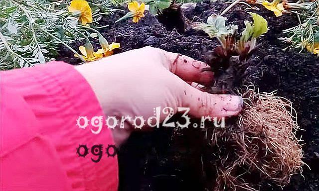 посадка клубники осенью когда и как посадить 1