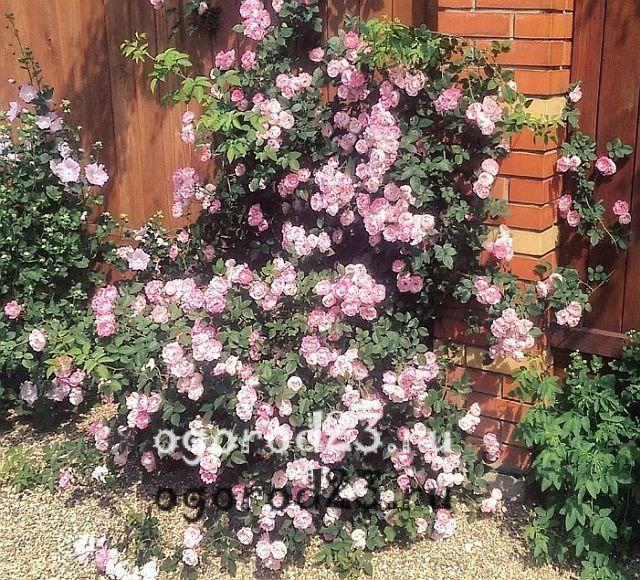 плетистая роза посадка и уход в открытом грунте 1