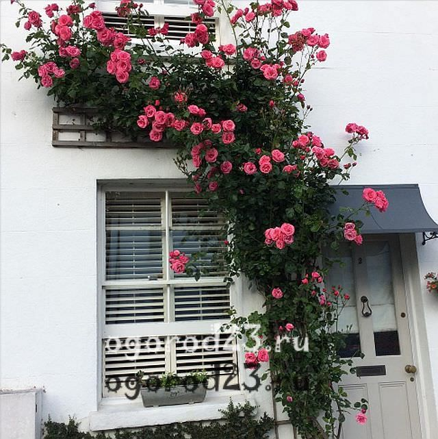 плетистая роза посадка и уход в открытом грунте 3