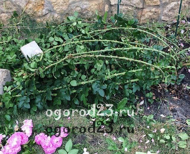 плетистая роза посадка и уход в открытом грунте 6