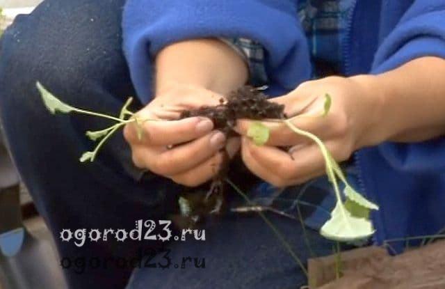 капуста выращивание и уход в открытом грунте 4